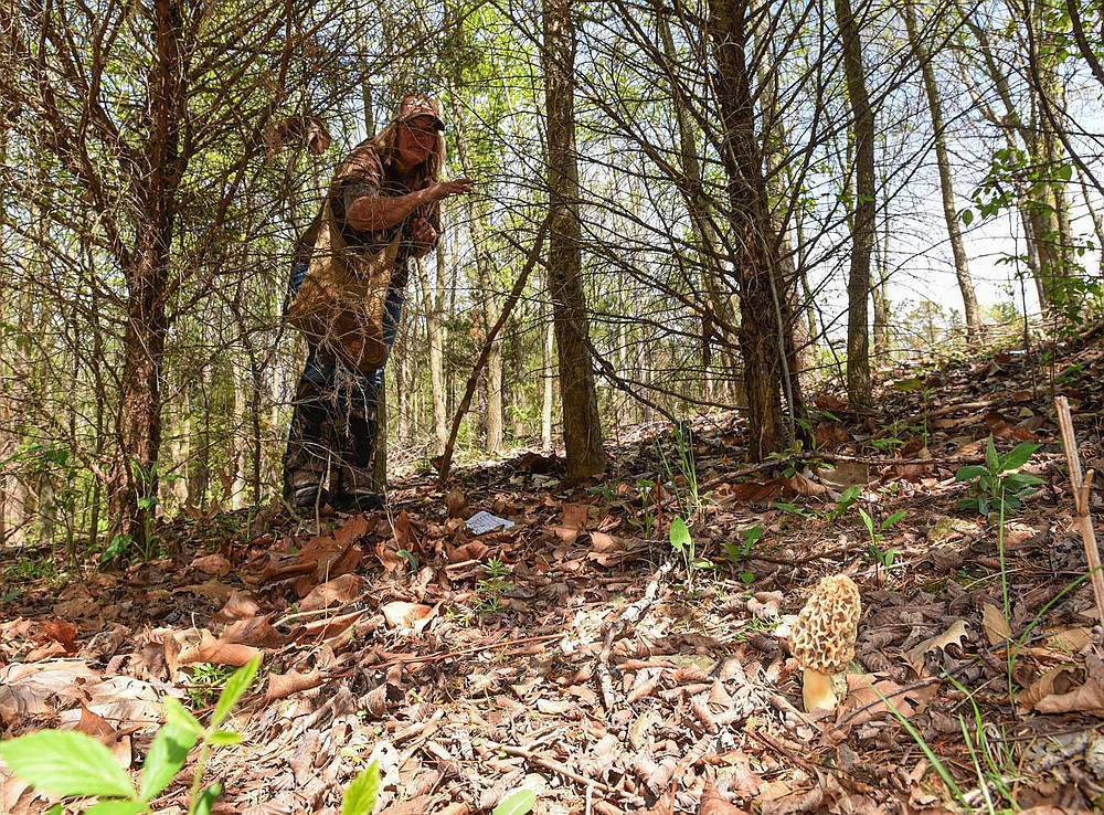 """""""It's a skill,"""" Nichols says of developing an eye for seeing morel mushrooms     April 14 2021    among the leaves and undergrowth on the forest floor. She spotted this morel at a distance of about 25 feet. (NWA Democrat-Gazette/Flip Putthoff)"""