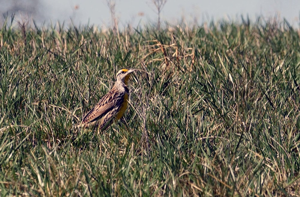 A meadowlark explores a hatchery meadow. (NWA Democrat-Gazette/Flip Putthoff)