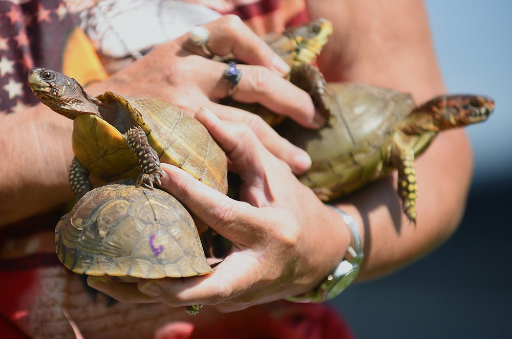 Turtle races still occur in some places despite warnings from experts who say the box turtles are miserable in captivity and should not be used as entertainment. (Democrat-Gazette file photo)
