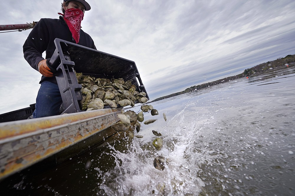 """Kyle Pfau, an oysterman with Fat Dog Shellfish Co., dumps out a tray of adult """"Uglie"""" oysters from Maine onto a relocation area at Great Bay, Monday, May 3, 2021, in Durham, N.H. Thousands of Uglies from Maine, which were left to grow due to lack of retail demand of more than a year because of the virus outbreak, were relocated to Great Bay to enhance the shellfish species in New Hampshire coastal waters. (AP Photo/Charles Krupa)"""