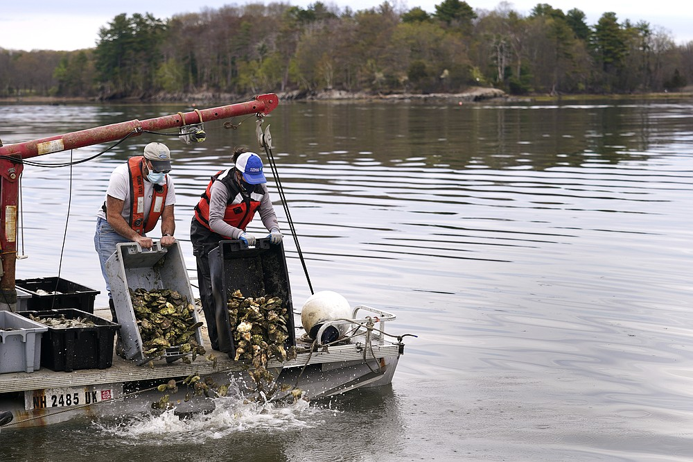 """Brian Gennaro, owner of Virgin Oyster Co., left, and Alix Laferriere, of the The Nature Conservancy, dump out a trays of adult """"Uglie"""" oysters from Maine onto a relocation area at Great Bay, Monday, May 3, 2021, in Durham, N.H. Thousands of Uglies from Maine, which were left to grow due to lack of retail demand of more than a year because of the virus outbreak, were relocated to Great Bay to enhance the shellfish species in New Hampshire coastal waters. (AP Photo/Charles Krupa)"""