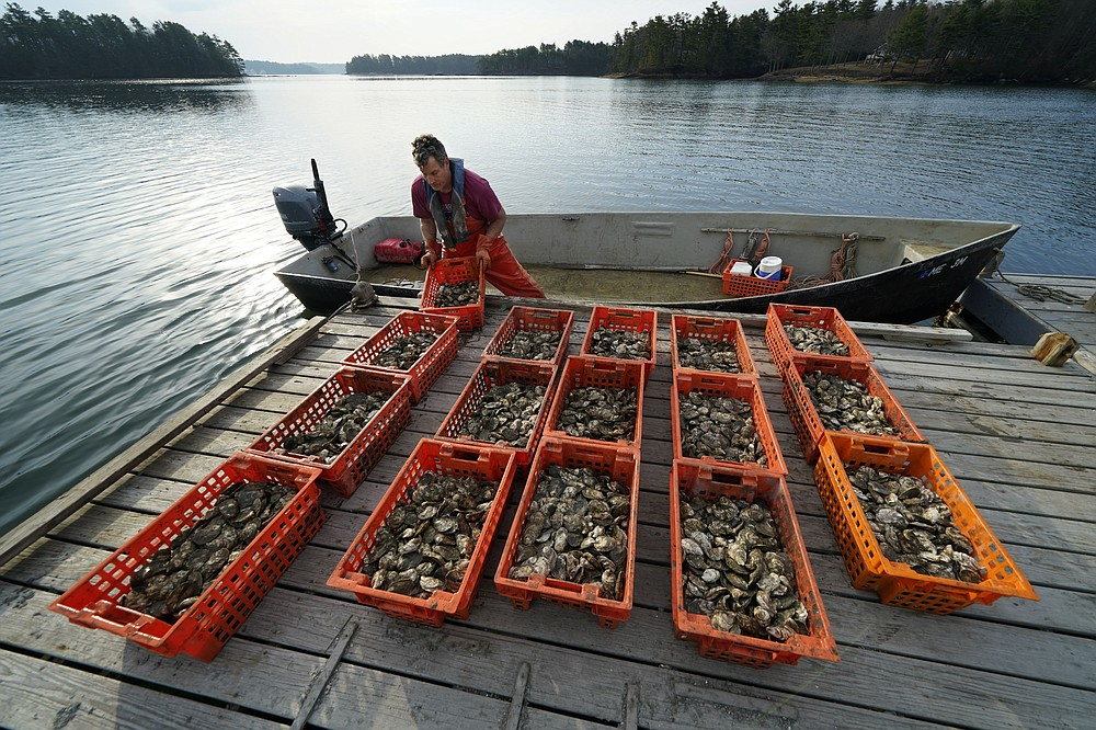 Oyster farmer Chris Burtis of Ferda Farms unloads oysters harvested on the New Meadows River, Sunday, April 25, 2021, in Brunswick, Maine. Oysters from the farm are being used to establish a new population in New Hampshire. (AP Photo/Robert F. Bukaty)