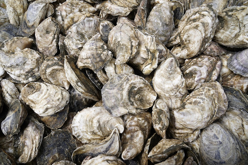 Oyster are collected in a crate, Sunday, April 25, 2021, in Brunswick, Maine. Oysters from the farm are being used to establish a new population in New Hampshire. (AP Photo/Robert F. Bukaty)