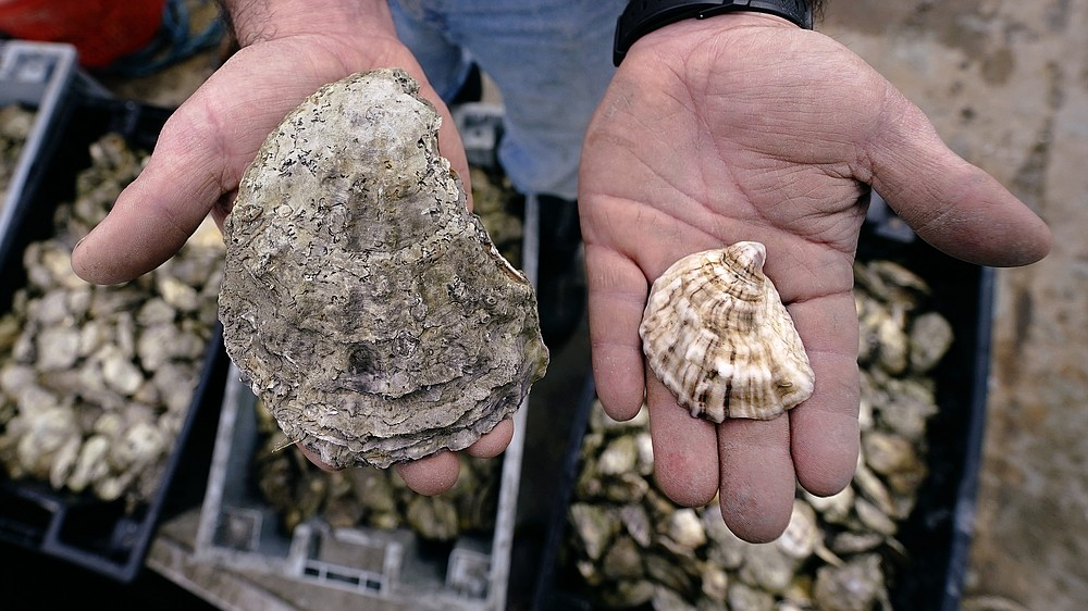 """Brian Gennaro, owner of Virgin Oyster Co., holds an oyster ready for retail sale, right, next to a large adult oyster, also known as an """"Uglie"""", at Great Bay, Monday, May 3, 2021, in Durham, N.H. Thousands of Uglies from Maine, which were left to grow due to lack of retail demand of more than a year because of the virus outbreak, were relocated to Great Bay to enhance the shellfish species in New Hampshire coastal waters. (AP Photo/Charles Krupa)"""
