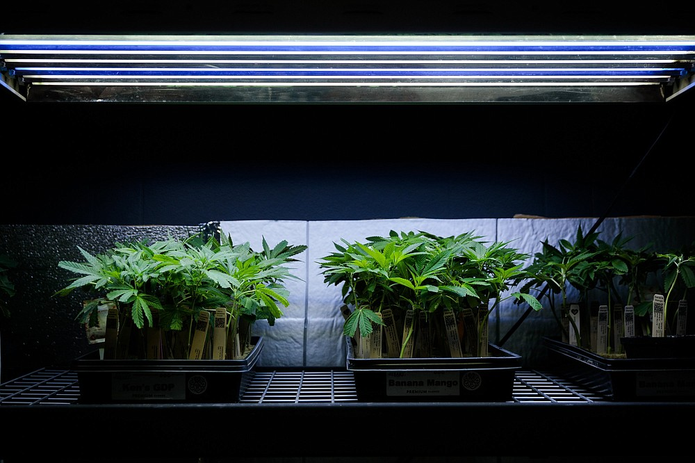 Cannabis seedlings are for sale at La Florista Cannabis dispensary in Weed, Calif. California allows residents to buy the plants and grow their own. (The New York Times/Max Whittaker)