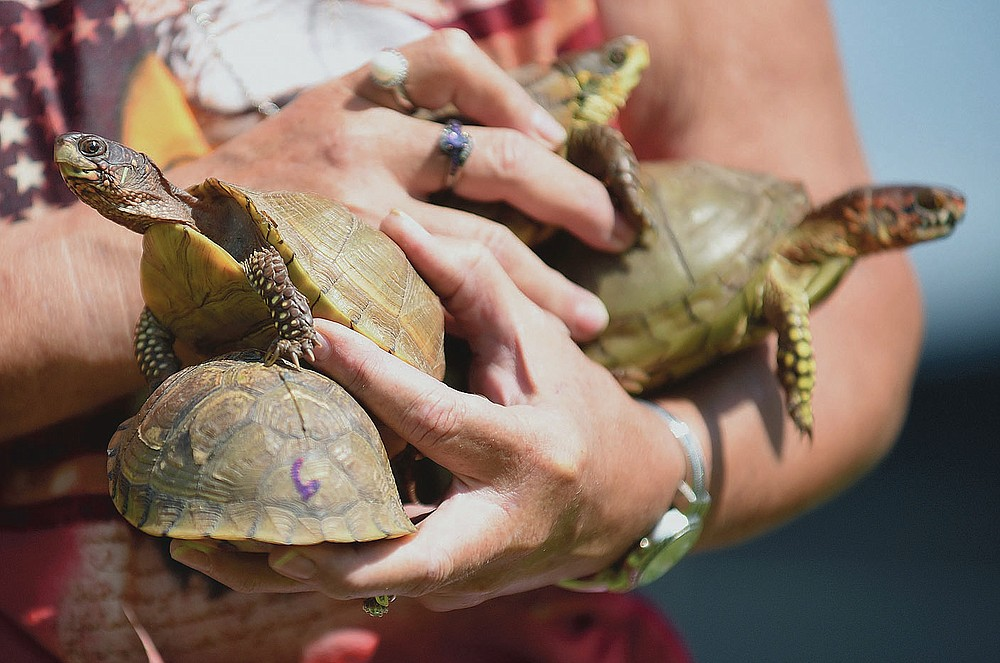 NWA Democrat-Gazette/DAVID GOTTSCHALK Darcy Smith, festival director, holds a hand full of turtles Thursday, July 4, 2019, before the start of the turtle race during the Wesley Annual Horseshoe Pitching Tournament and Community Social at the Community Building in Wesley. The all day event featured both horseshoes and a corn hole tournament, food, games and fireworks. All proceeds raised went to support the Wesley Fire Department and Community Building. More photos: nwadg.com/photos