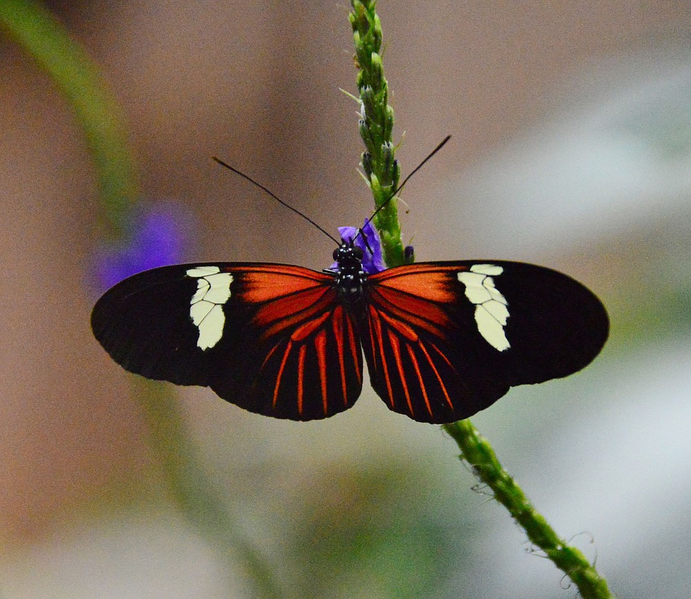 None of the butterflies that fly at the Butterfly Palace in Branson are native to Missouri. They come from exotic locales like Costa Rica, Malaysia, Australia and Africa, where the butterfly farms help maintain the habitat around them.  (Courtesy Photo/Butterfly Palace)