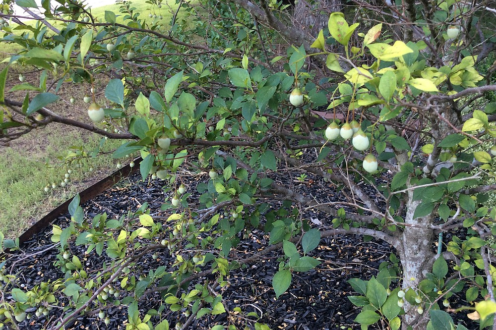Styrax bears olive-shaped fruits that hang on into fall. (Special to the Democrat-Gazette/Janet B. Carson)