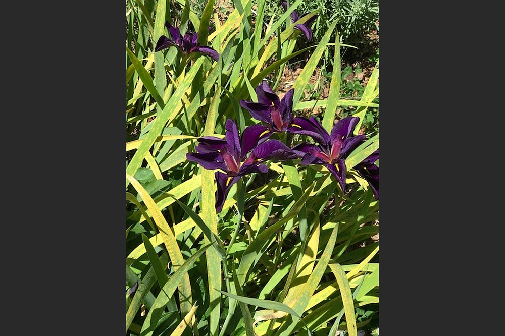 These irises somehow insinuated themselves into a bed where the gardener grew daylilies in the past. (Special to the Democrat-Gazette)