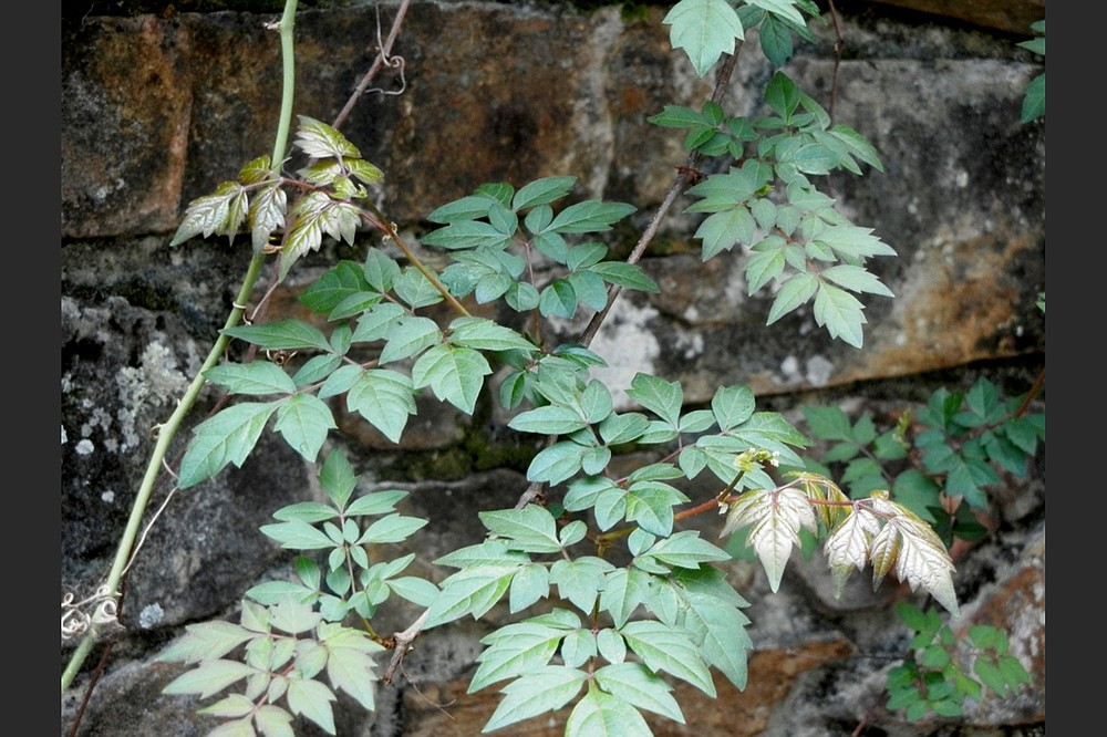 The agressive vine Ampelopsis is better known as pepper vine. (Special to the Democrat-Gazette/Janet B. Carson)