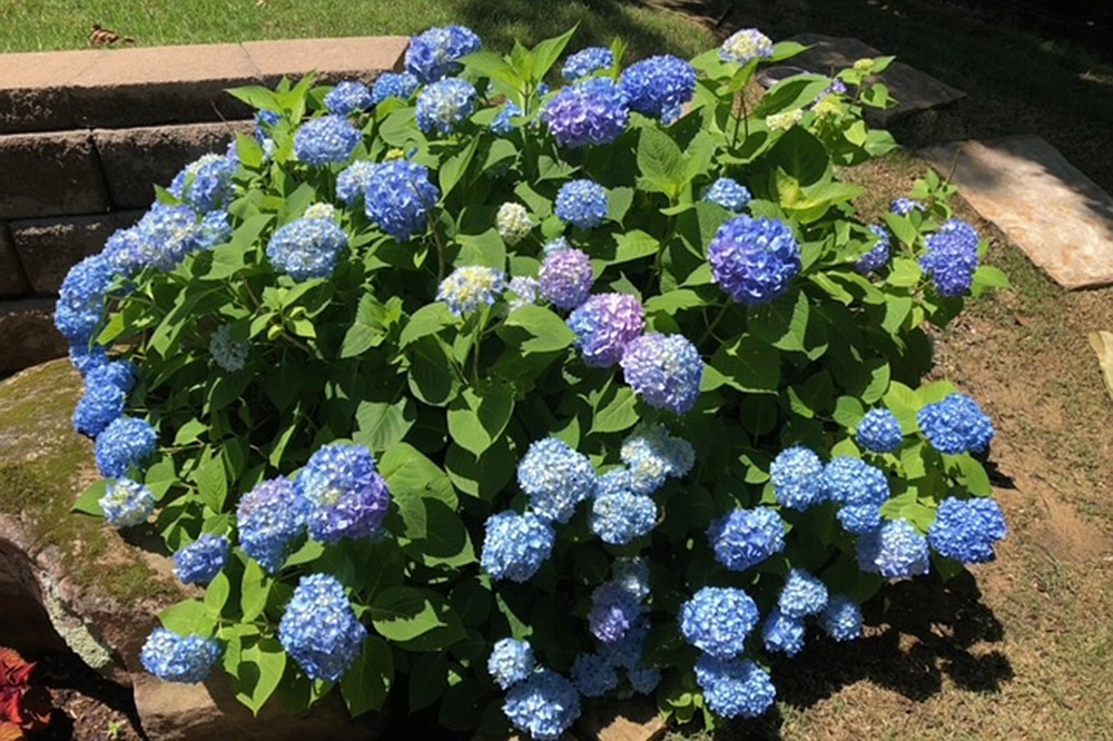 Old-fashioned big-leaf hydrangeas bloom on old growth and so are pruned right after they bloom, but remontant varieties bloom on their new growth, too. (Special to the Democrat-Gazette)