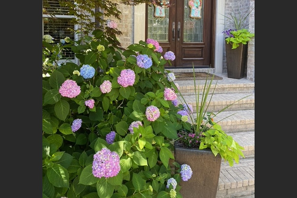 Many Hydrangea macrophylla plants came through the winter of 2021 in good condition. (Special to the Democrat-Gazette)