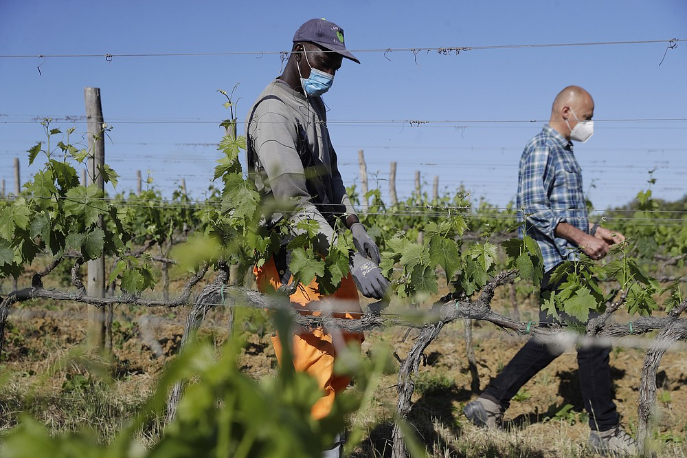 Ibrahima Fofana, of Mali, left, and Agronomist Vittorio Stringari inspect a grapevine at the Nardi vineyard in Casal del Bosco, Italy, Thursday, May 27, 2021. It is a long way, and a risky one. But for this group of migrants at least it was worth the effort. They come from Ghana, Togo, Sierra Leone, Pakistan, Guinea Bissau, among other countries. They all crossed the Sahara desert, then from Libya the perilous Mediterranean Sea until they reached Italian shores, now they find hope working in the vineyards of Tuscany to make the renown Brunello wine. (AP Photo/Gregorio Borgia)