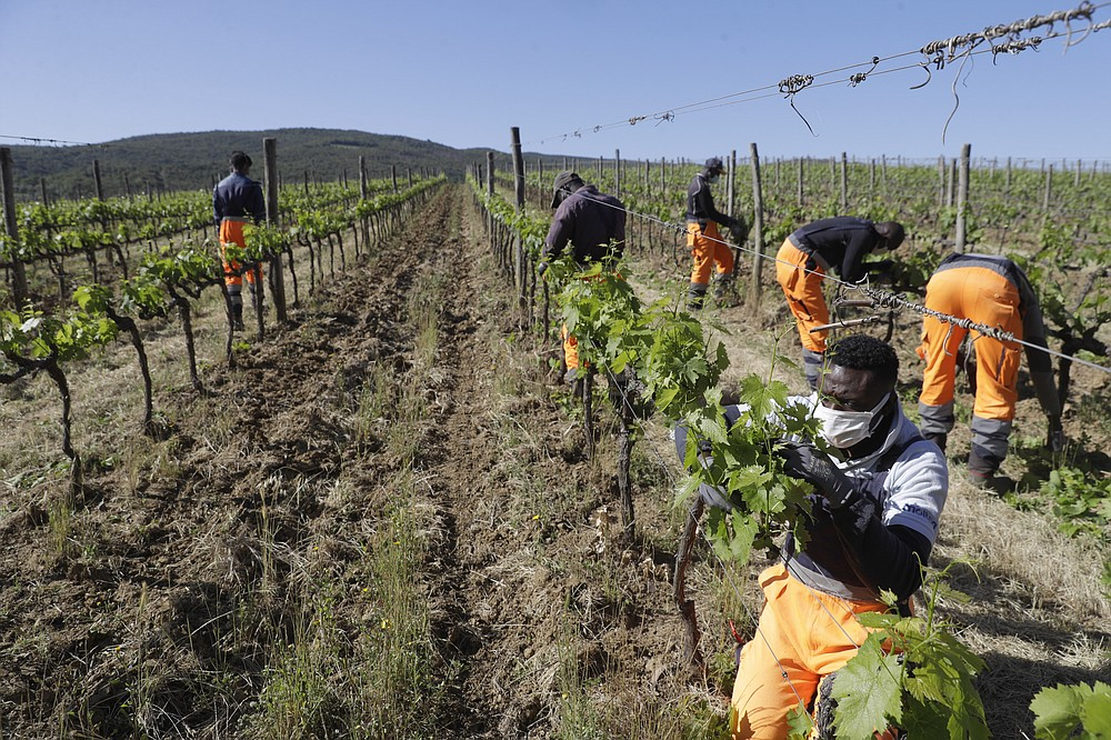 Ehikwe Ambrose, of Nigeria, works on a grapevine with workmates at the Nardi vineyard in Casal del Bosco, Italy, Thursday, May 27, 2021. It is a long way, and a risky one. But for this group of migrants at least it was worth the effort. They come from Ghana, Togo, Sierra Leone, Pakistan, Guinea Bissau, among other countries. They all crossed the Sahara desert, then from Libya the perilous Mediterranean Sea until they reached Italian shores, now they find hope working in the vineyards of Tuscany to make the renown Brunello wine. (AP Photo/Gregorio Borgia)