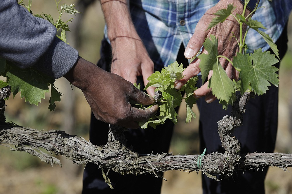Sales Godge,of Burkina Faso and Agronomist Vittorio Stringari inspect a grapevine at the Nardi vineyard in Casal del Bosco, Italy, Thursday, May 27, 2021. It is a long way, and a risky one. But for this group of migrants at least it was worth the effort. They come from Ghana, Togo, Sierra Leone, Pakistan, Guinea Bissau, among other countries. They all crossed the Sahara desert, then from Libya the perilous Mediterranean Sea until they reached Italian shores, now they find hope working in the vineyards of Tuscany to make the renown Brunello wine. (AP Photo/Gregorio Borgia)