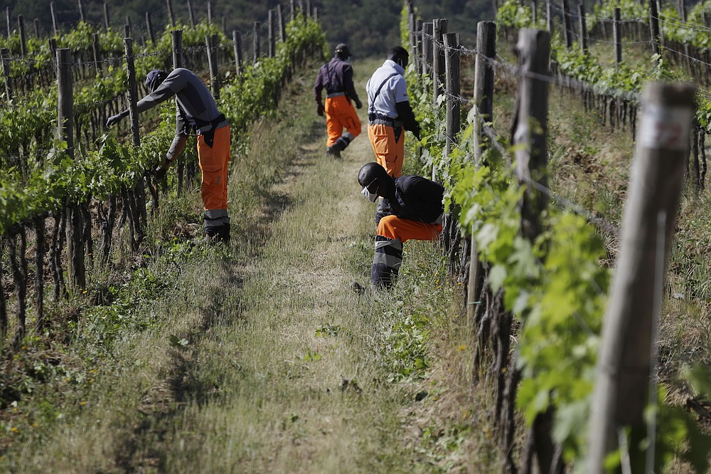 Tholley Osman, of Sierra Leone, right, passes under a line of grapevine during his workday at the Nardi vineyard in Casal del Bosco, Italy, Thursday, May 27, 2021. It is a long way, and a risky one. But for this group of migrants at least it was worth the effort. They come from Ghana, Togo, Sierra Leone, Pakistan, Guinea Bissau, among other countries. They all crossed the Sahara desert, then from Libya the perilous Mediterranean Sea until they reached Italian shores, now they find hope working in the vineyards of Tuscany to make the renown Brunello wine. (AP Photo/Gregorio Borgia)
