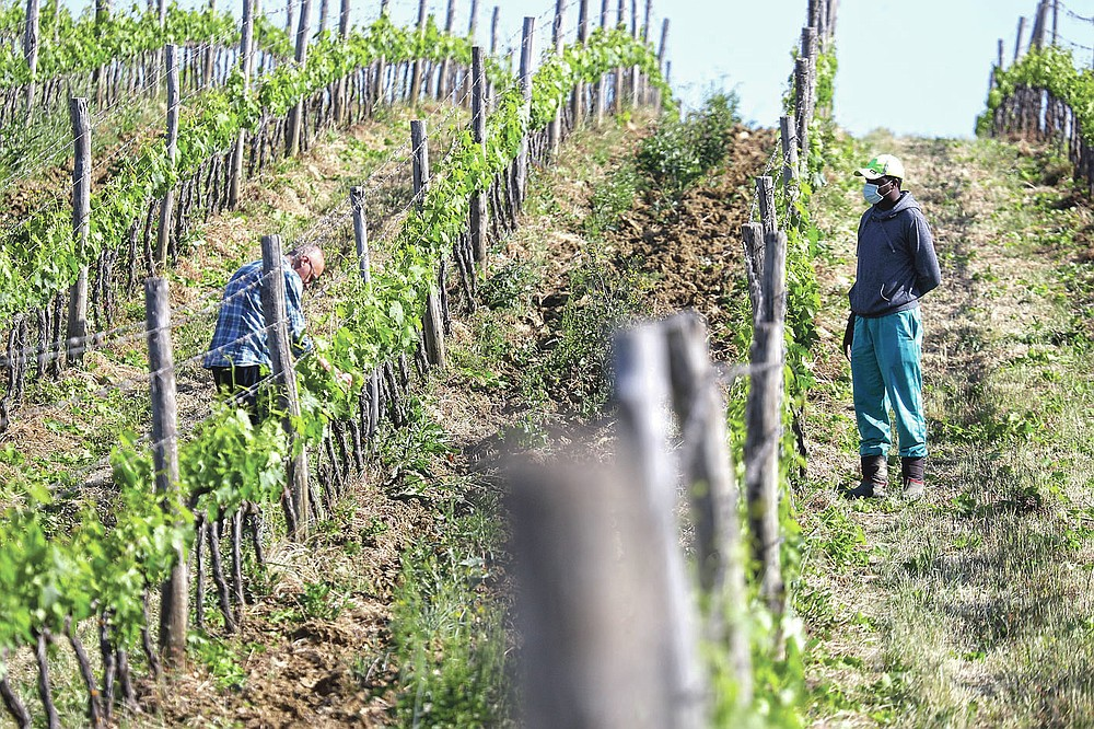 Agronomist Vittorio Stringari, left, and Sales Godge,of Burkina Faso, inspect a grapevine at the Nardi vineyard in Casal del Bosco, Italy, Thursday, May 27, 2021. It is a long way, and a risky one. But for this group of migrants at least it was worth the effort. They come from Ghana, Togo, Sierra Leone, Pakistan, Guinea Bissau, among other countries. They all crossed the Sahara desert, then from Libya the perilous Mediterranean Sea until they reached Italian shores, now they find hope working in the vineyards of Tuscany to make the renown Brunello wine. (AP Photo/Gregorio Borgia)