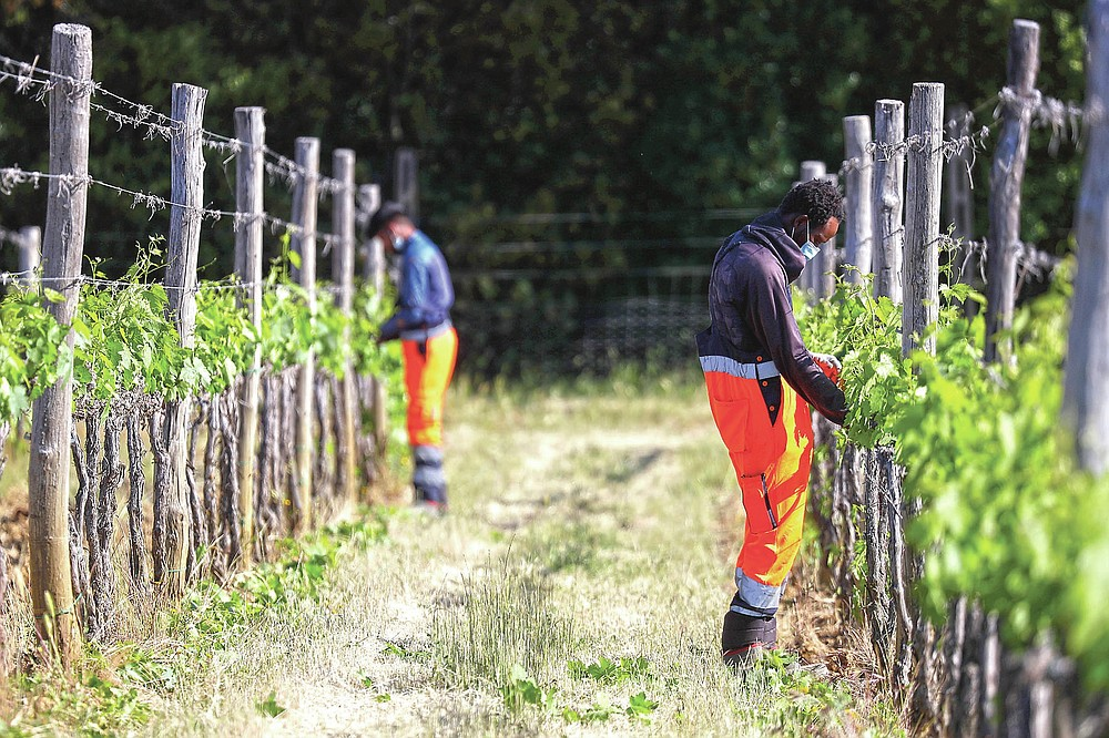 Yahya Adams, of Ghana, right, and Jawad Jawad, of Pakistan, work on a grapevine at the Nardi vineyard in Casal del Bosco, Italy, Thursday, May 27, 2021. It is a long way, and a risky one. But for this group of migrants at least it was worth the effort. They come from Ghana, Togo, Sierra Leone, Pakistan, Guinea Bissau, among other countries. They all crossed the Sahara desert, then from Libya the perilous Mediterranean Sea until they reached Italian shores, now they find hope working in the vineyards of Tuscany to make the renown Brunello wine. (AP Photo/Gregorio Borgia)