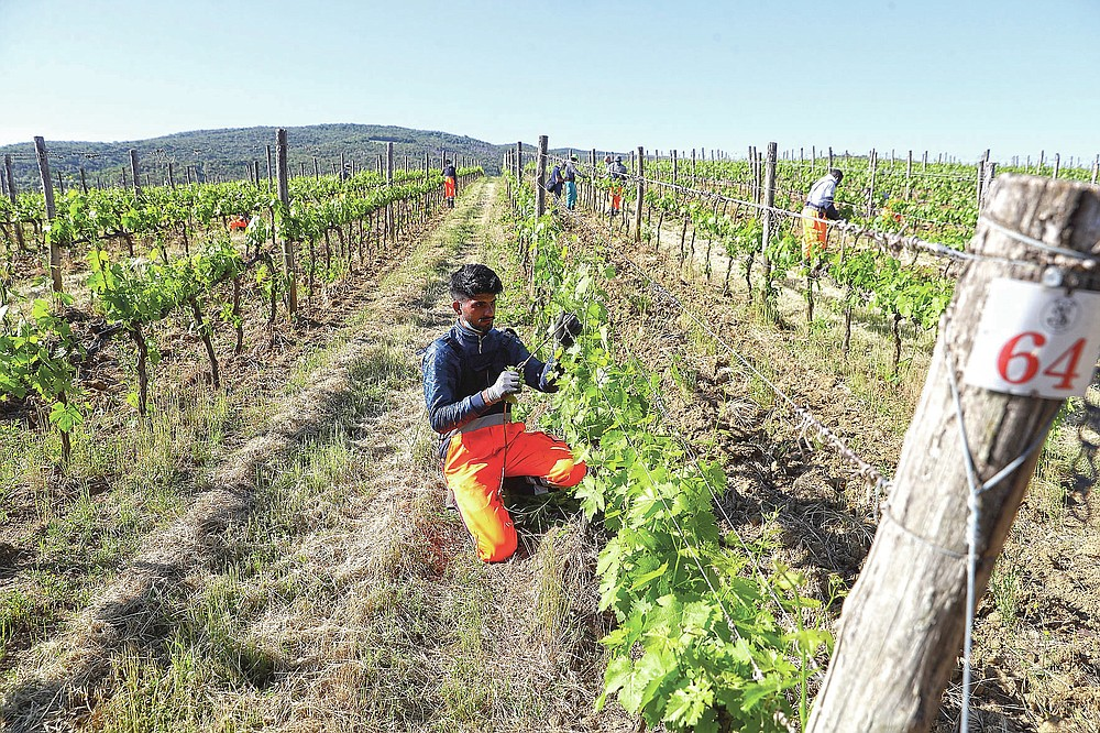 Jawad Jawad, of Pakistan, works on a grapevine at the Nardi vineyard in Casal del Bosco, Italy, Thursday, May 27, 2021. It is a long way, and a risky one. But for this group of migrants at least it was worth the effort. They come from Ghana, Togo, Sierra Leone, Pakistan, Guinea Bissau, among other countries. They all crossed the Sahara desert, then from Libya the perilous Mediterranean Sea until they reached Italian shores, now they find hope working in the vineyards of Tuscany to make the renown Brunello wine. (AP Photo/Gregorio Borgia)