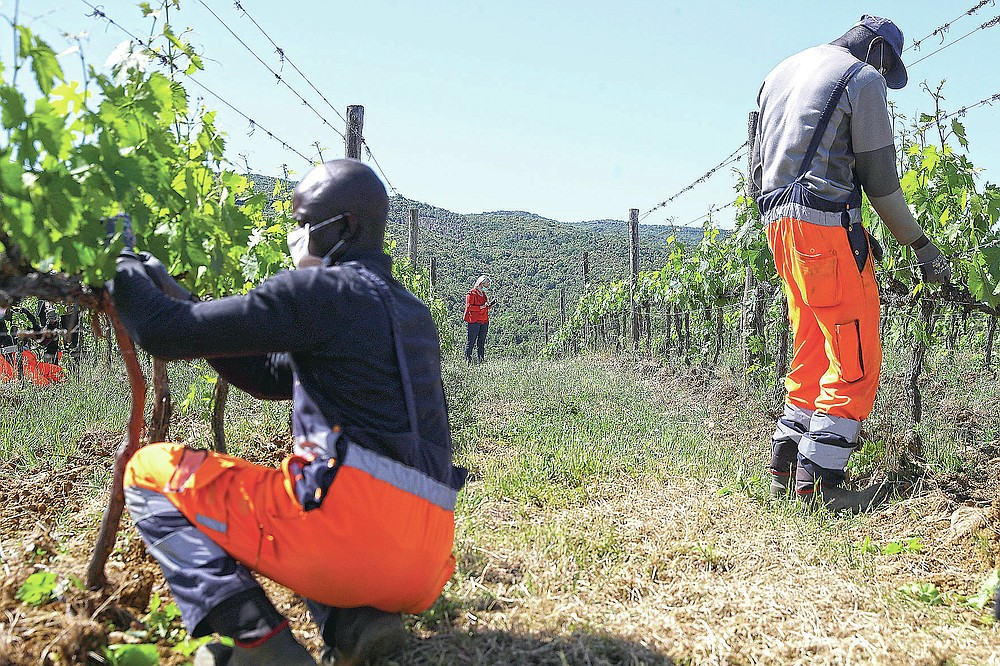 Tholley Osman, of Sierra Leone, left, and Ibrahima Fofana, of Mali, work on a grapevine as Emilia Nardi stands in background at the Nardi vineyard in Casal del Bosco, Italy, Thursday, May 27, 2021. It is a long way, and a risky one. But for this group of migrants at least it was worth the effort. They come from Ghana, Togo, Sierra Leone, Pakistan, Guinea Bissau, among other countries. They all crossed the Sahara desert, then from Libya the perilous Mediterranean Sea until they reached Italian shores, now they find hope working in the vineyards of Tuscany to make the renown Brunello wine. (AP Photo/Gregorio Borgia)