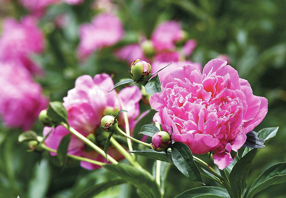 Peony blooms are photographed Thursday, May 27, 2021, at Sjuts Peony Garden south of Trumbull, Neb. (Laura Beahm/The Hastings Tribune via AP)