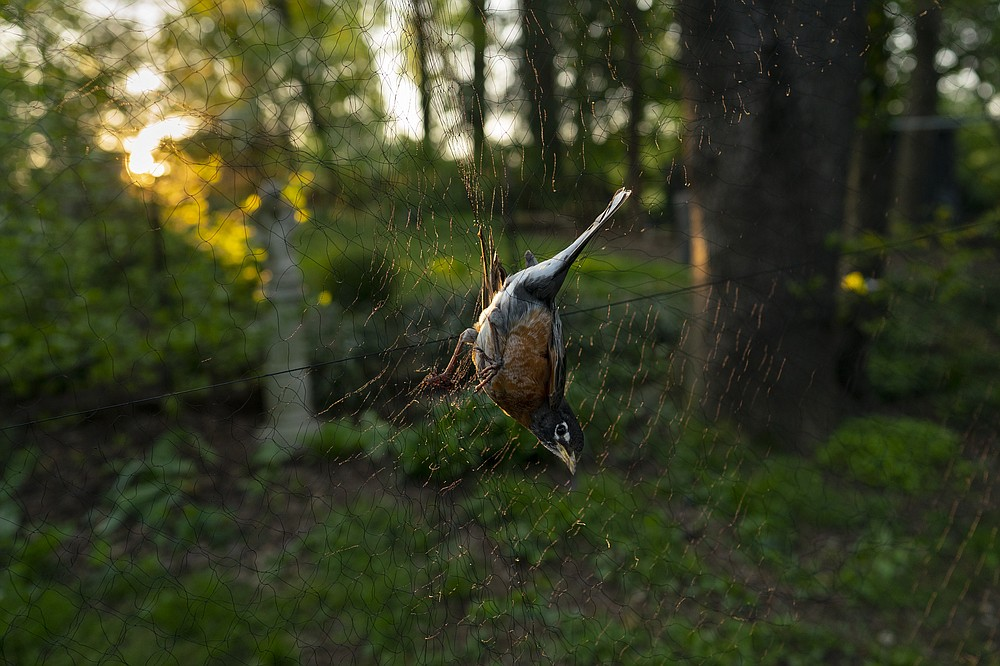 """An American robin sits in a nylon net at sunrise, Saturday, April 24, 2021, in Silver Spring, Md. Avian ecologist and Georgetown University Ph.D. student Emily Williams uses nets to catch robins and possibly fit them with an Argos satellite tag. """"It's astounding how little we know about some of the most common songbirds,"""" said Ken Rosenberg, a conservation scientist at Cornell University. """"We have a general idea of migration, a range map, but that's really just a broad impression."""" (AP Photo/Carolyn Kaster)"""