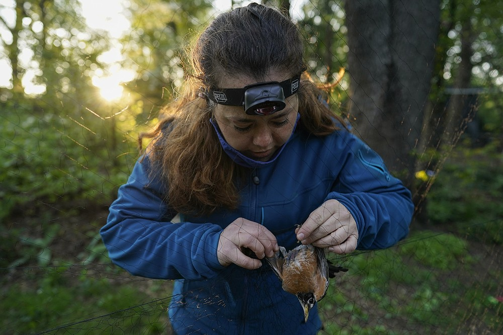 Avian ecologist and Georgetown University Ph.D. student Emily Williams gently untangles an American robin from a nylon mist net Saturday, April 24, 2021, in Silver Spring, Md. Williams is gathering data and samples to possibly fit the bird with a Argos satellite tag. The technology has only recently become small and light enough for some songbirds. (AP Photo/Carolyn Kaster)