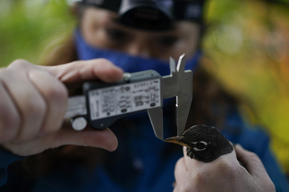 Avian ecologist and Georgetown University Ph.D. student Emily Williams measures the beak of an American robin as she gathers data to possibly fit the bird with an Argos satellite tag, Saturday, April 24, 2021, in Silver Spring, Md. The American robin is an iconic songbird in North America, its bright chirp a harbinger of spring. Yet its migratory habits remain a bit mysterious to scientists. (AP Photo/Carolyn Kaster)