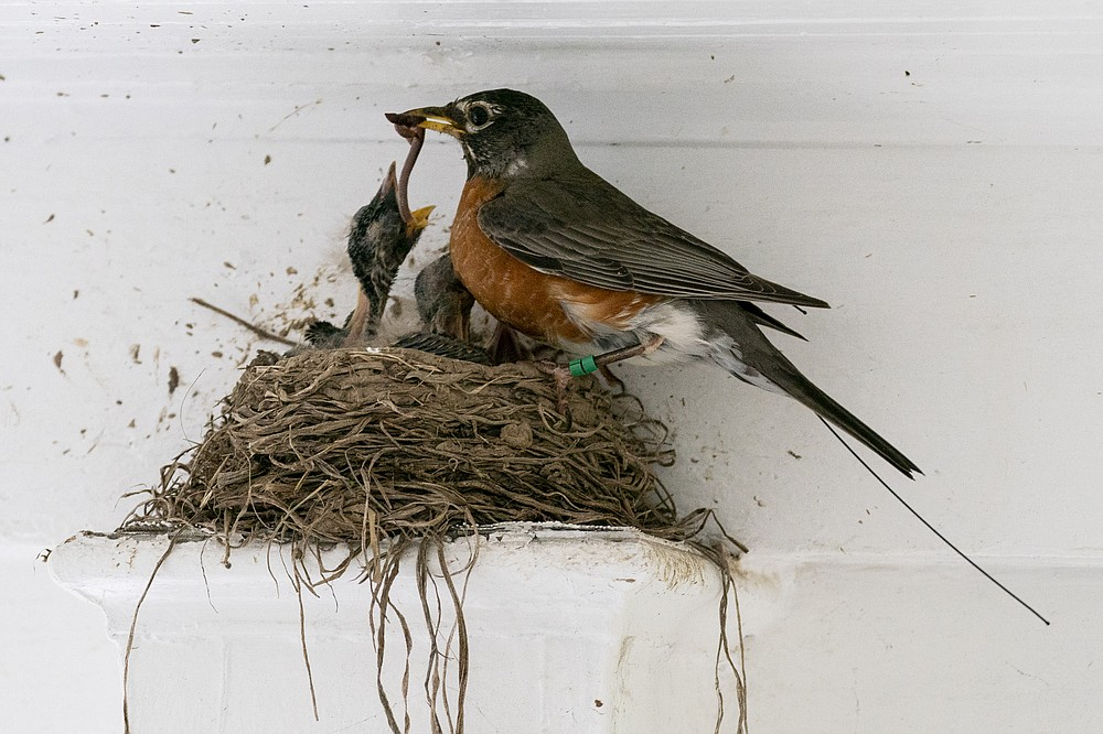The antenna of an Argos satellite tag extends past the tail feathers of a female American robin as she feeds a worm to her hungry nestlings on a front porch in Cheverly, Md., Sunday, May 9, 2021. A new antenna on the International Space Station and receptors on the Argos satellite, combined with the shrinking size of tracking chips and batteries, are allowing scientists to remotely monitor small animal and songbird movements in much greater detail than ever before. (AP Photo/Carolyn Kaster)
