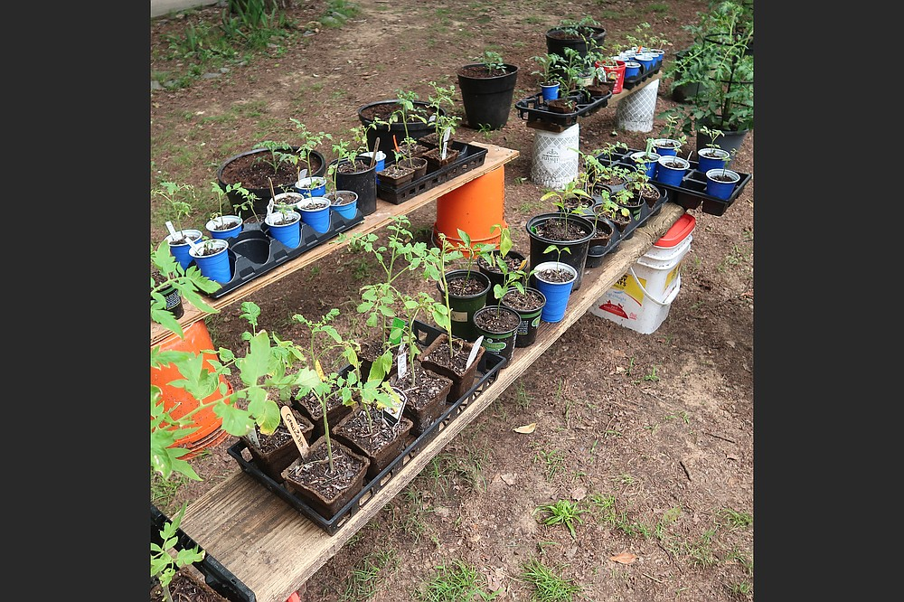 Don Ernst encourages other home gardeners to discover the delights of older tomato varieties by sharing transplants grown from seed. (Special to the Democrat-Gazette/Janet B. Carson)