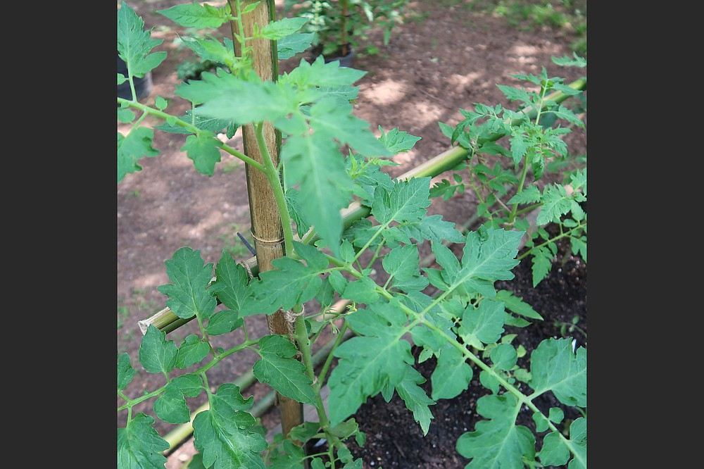 Twine keeps Don Ernst's thriving tomato vines attached to bamboo canes he foraged in a vacant lot. (Special to the Democrat-Gazette/Janet B. Carson)
