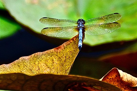"""""""Dragonfly on Brown Leaf."""" - Submitted photo"""