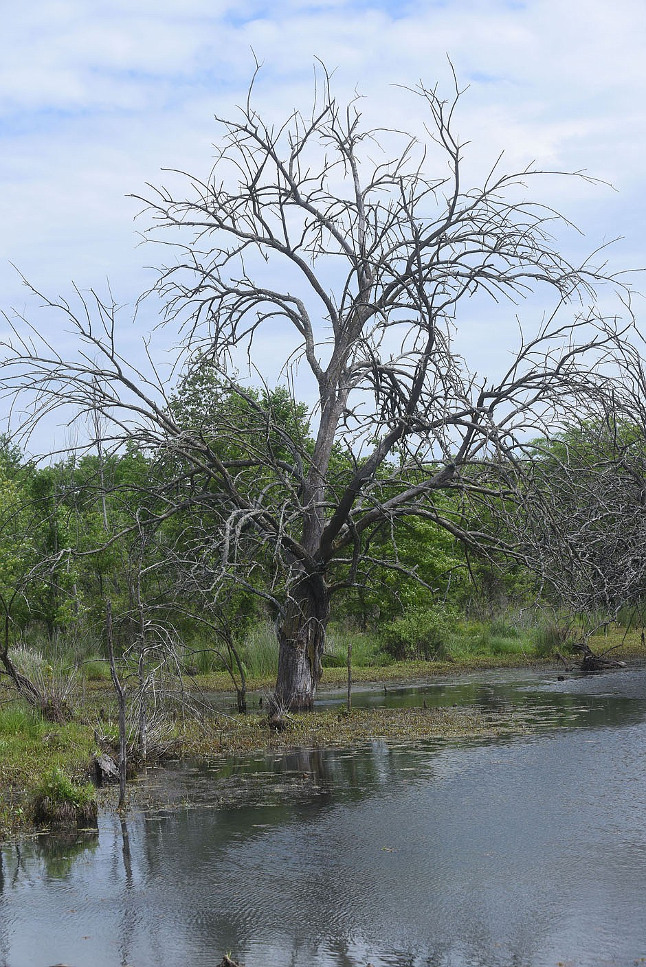 Branches go in all directions on a tree  May 14 2021 in the Osage Park wetland.  (NWA Democrat-Gazette/Flip Putthoff)