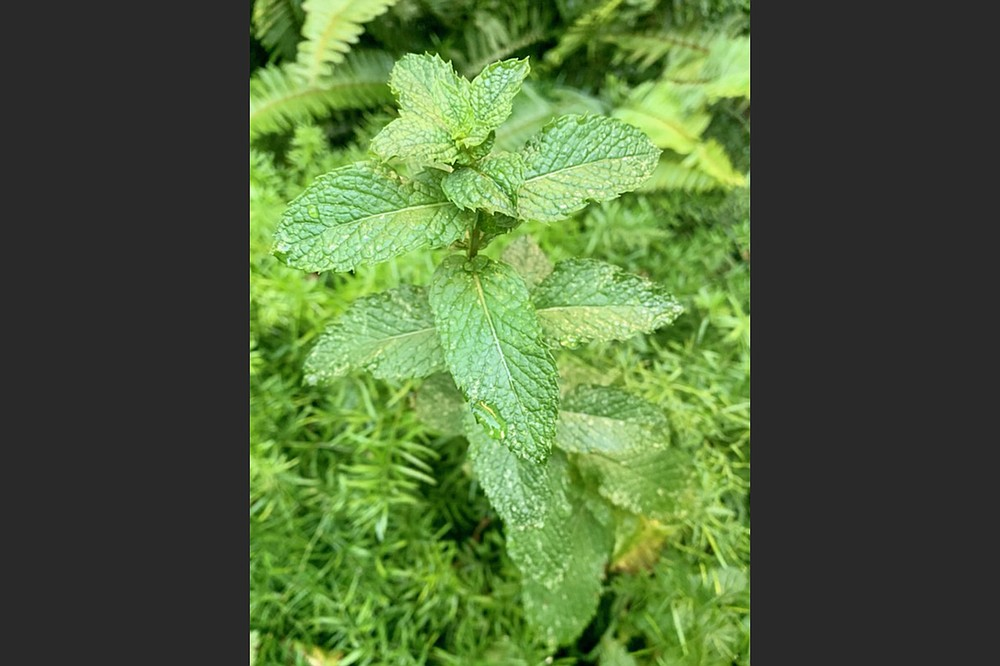 Mites cause damage like the tiny white dots on the leaves of this mint.  (Special to the Democrat-Gazette)