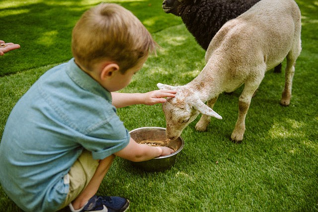 The petting zoo attracts the young and young at heart at Shepherd of the Hills Farm.  (Courtesy Photo/Shepherd of the Hills)