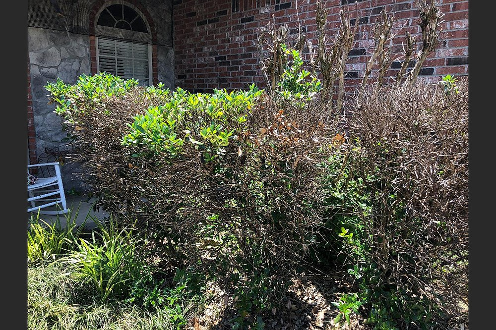 These winter-blasted shrubs can be pruned back severely and allowed to regrow, but it could take years. (Special to the Democrat-Gazette)