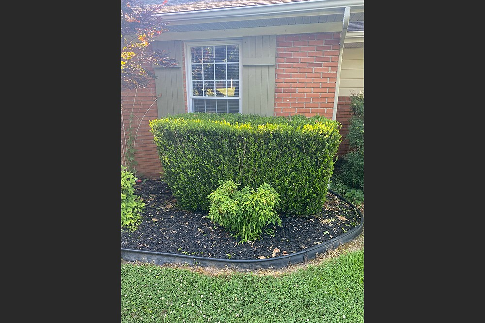 Reshaping this hedge would strengthen its stems. (Special to the Democrat-Gazette)
