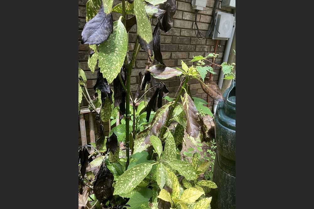 Direct sunlight can blacken the leaves of aucuba. (Special to the Democrat-Gazette)