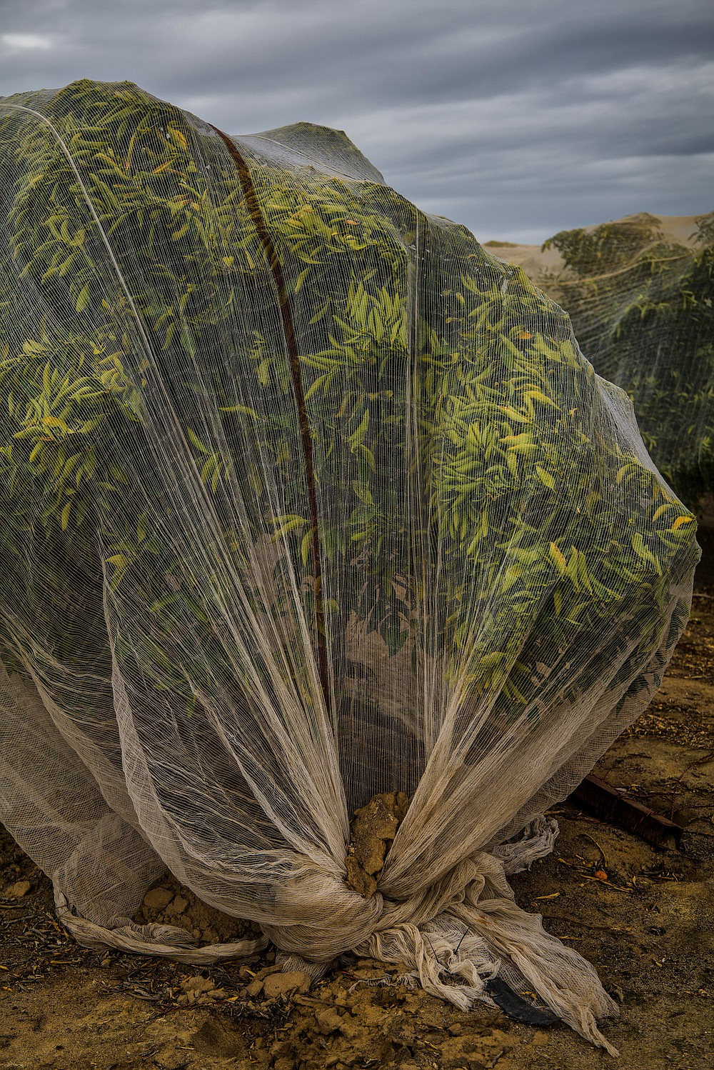 Mosquito nets on almond trees at a farm in Selma, Calif., March 18, 2021. In California, a young generation of Sikh farmers has agricultural roots that stretch back 900 years. (Ryan Christopher Jones/The New York Times)