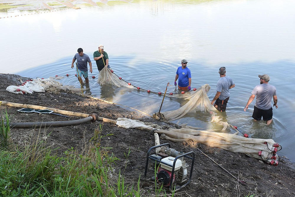Staff at the Charlie Craig State Fish Hatchery seine a pond to collect walleye fingerlings. Fingerlings are loaded into trucks and transported for stocking at Beaver Lake and other reservoirs. (NWA Democrat-Gazette/Flip Putthoff)