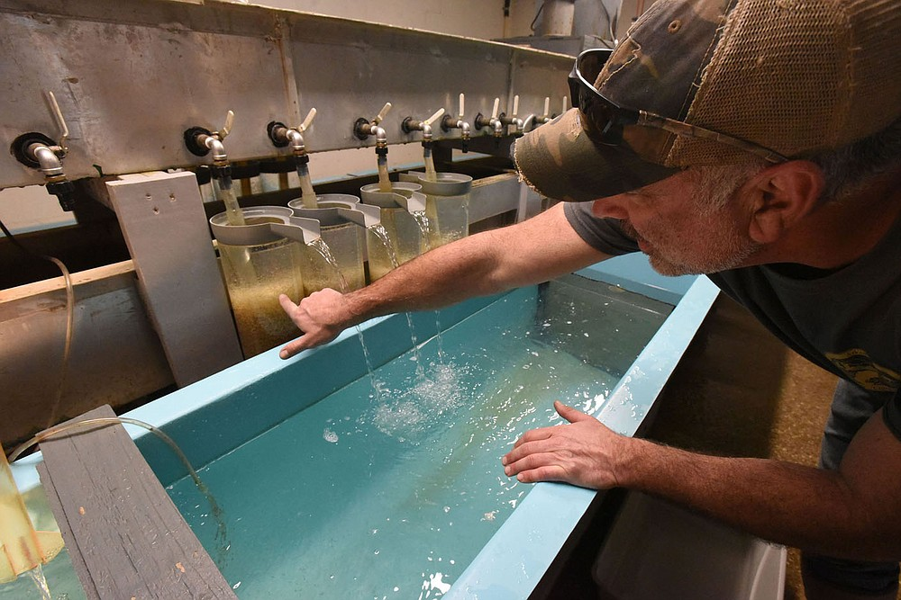 Heath Dake with the Arkansas Game and Fish Commission shows last spring thousands of walleye eggs that will soon hatch into tiny fry that are not much larger than pepper flakes. Walleye are raised each year at the Game and Fish Charlie Craig State Fish Hatchery in Centerton to boost their numbers at Beaver Lake and other reservoirs.  (NWA Democrat-Gazette/Flip Putthoff)
