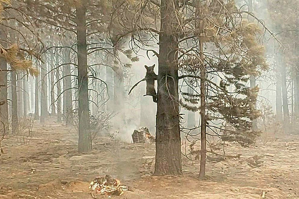 In this photo provided by the Bootleg Fire Incident Command, a bear cub clings to a tree after being spotted by a safety officer at the Bootleg Fire in southern Oregon, Sunday, July 18, 2021. As more fire personnel moved into the area, the cub scurried down the tree trunk and later left after being offered water.  (Bryan Daniels/Bootleg Fire Incident Command via AP)