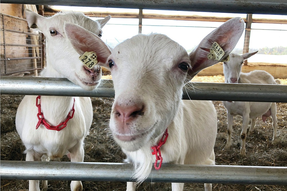 Dairy goats stand in a barn at Joneslan Farm, May 13, 2021, in Hyde Park, Vt. The farm sold its dairy cows and switched to goats, delivering its first goat milk in February to Vermont Creamery owned by Land O' Lakes for cheese making. (AP Photo/Lisa Rathke)