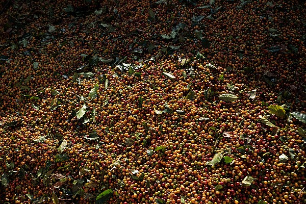Freeze, drought put Brazil's coffee harvest in jeopardy, fuel price surge The world's biggest coffee supplier - Arkansas Online