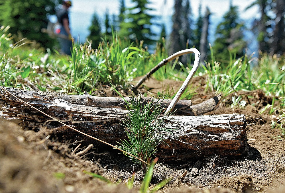 A tiny whitebark pine seedling is planted on June 24, 2021, in a carefully chosen microsite that will protect the tree in its younger years as it grows on a mountainside at Whitefish Mountain Resort in Whitefish, Mont. Restoration efforts for the threatened whitebark pine trees in the Flathead National Forest have been underway for more than 20 years. (Whitney England/Whitefish Pilot via AP)