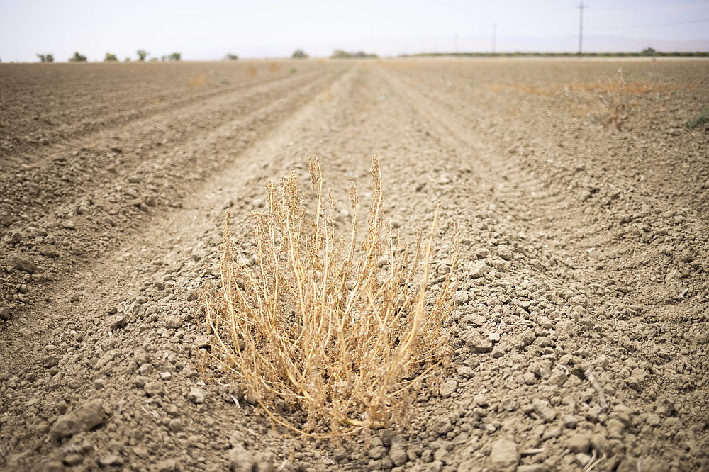 A dried weed in a fallow field in Los Banos, Calif. MUST CREDIT: Photo by John Brecher for The Washington Post.