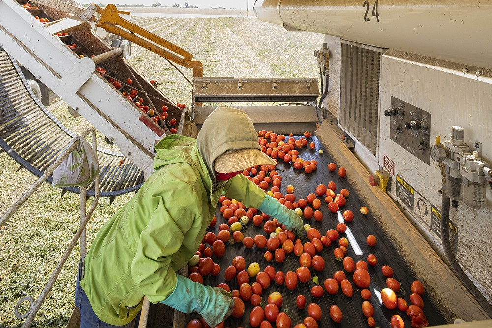 A worker harvests tomatoes in San Joaquin Valley. MUST CREDIT: Photo by John Brecher for The Washington Post.