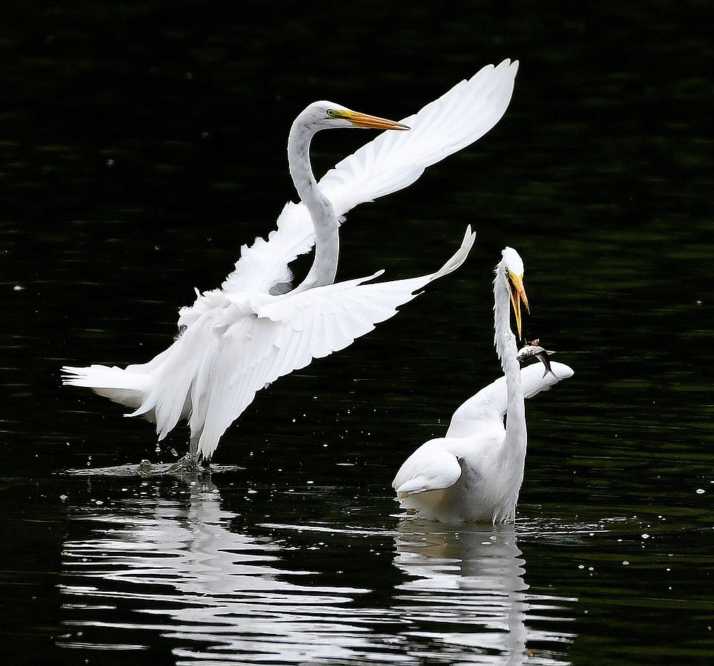 Submitted/TERRY STANFILL This photo of egrets in the shallows of SWEPCO Lake along the Eagle Watch Trail was another favorite of Terry's. He took this photo in July 2018.