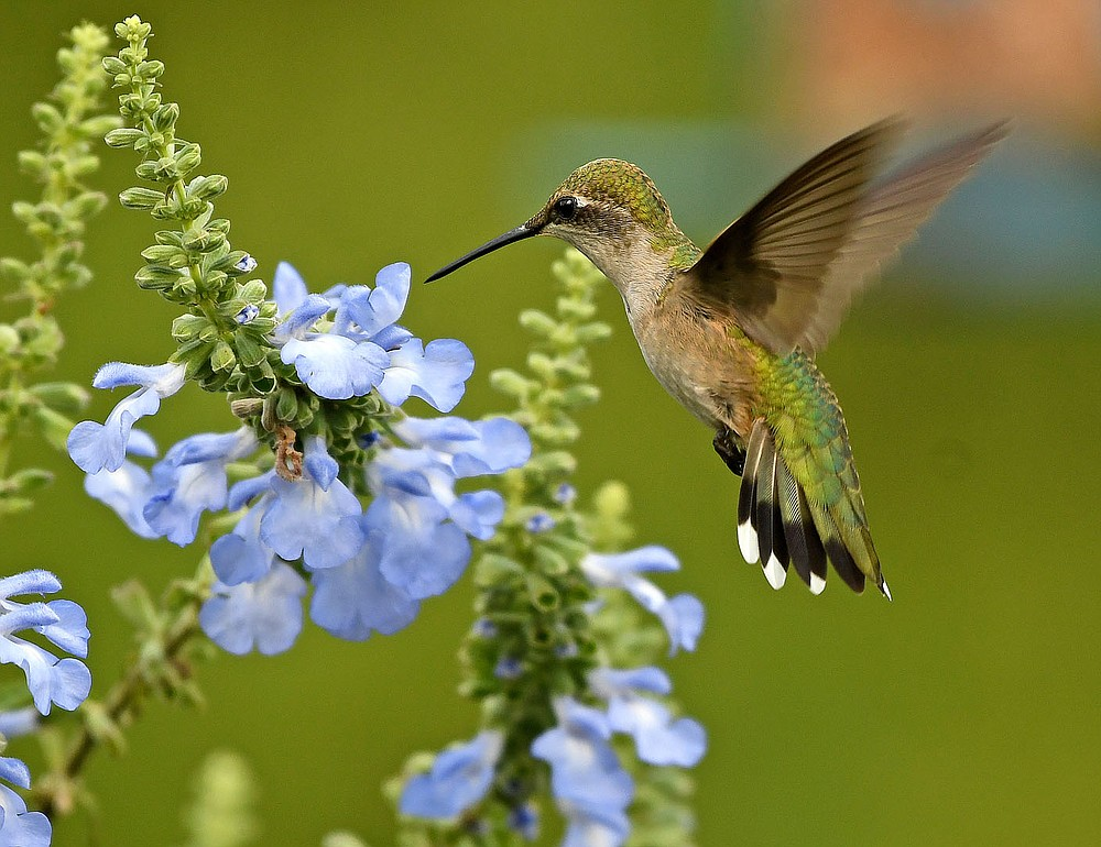 Submitted/TERRY STANFILL This photo of a hummingbird feeding on the nectar of area wildflowers was taken in August 2019.