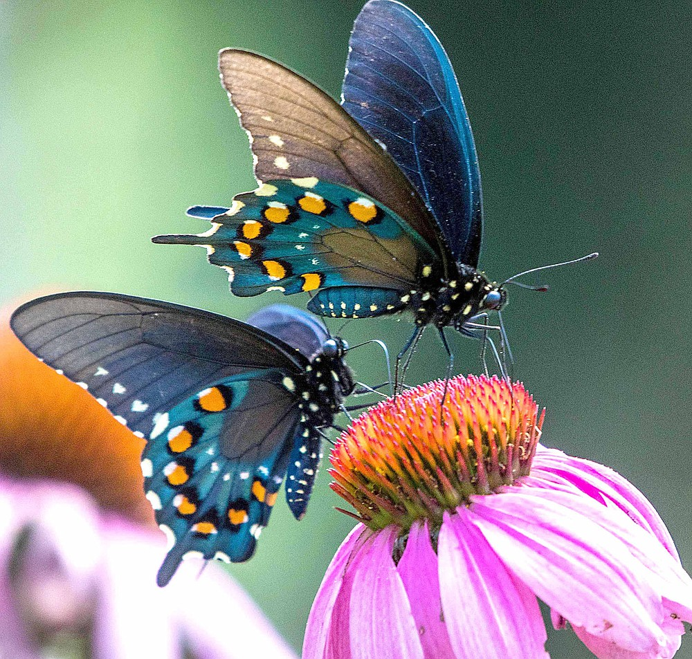 Submitted/TERRY STANFILL Two pipevine swallowtails visit the blooms of a coneflower in June 2019.